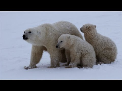 Untamed Americas - Polar Bear Survival
