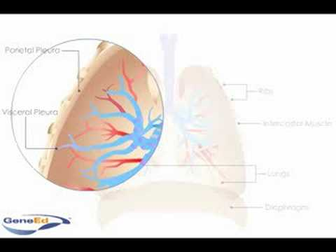 The pleura of the lung (animation)