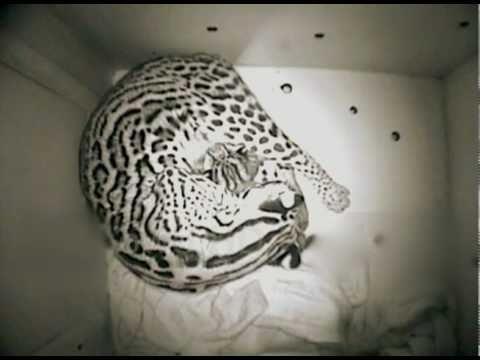 Sweet Baby Ocelot Kitten on Den-Cam