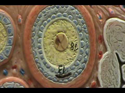 Ovary Model - Secondary & Mature Follicles.avi
