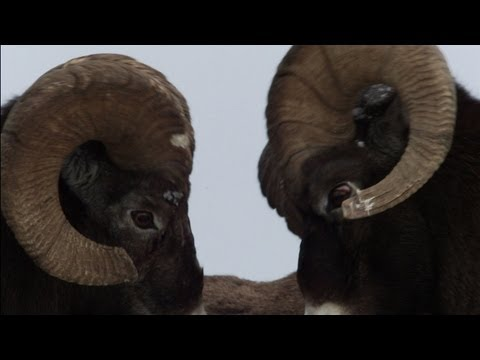 Untamed Americas - Big Horn Bash