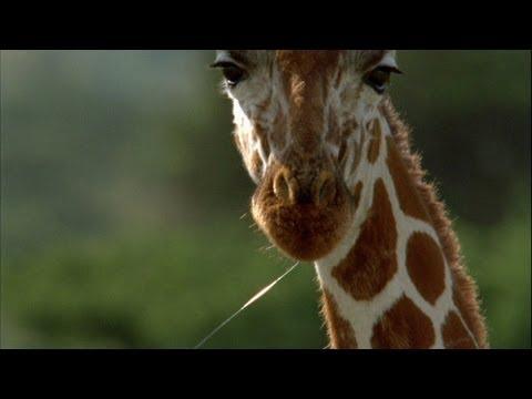 World's Weirdest - Giraffe Drool