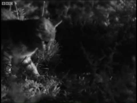 Wild cat mother feeds cute kitten - Cats Under the Serengeti Stars - BBC
