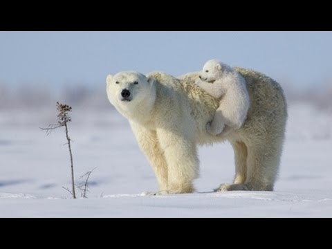 National Geographic Live! - Polar Bears Are Irish?