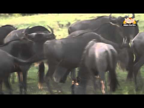 Wildebeest - Fun Facts