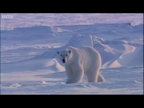 Sighting of a Polar Bear - The Search for Polar Bears - BBC