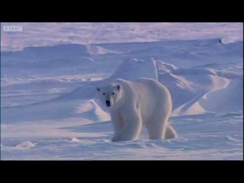 Sighting of a Polar Bear - The Search for Polar Bears - BBC