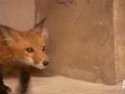 Turtle Team Takes on A Family of Foxes | Call of the Wildman