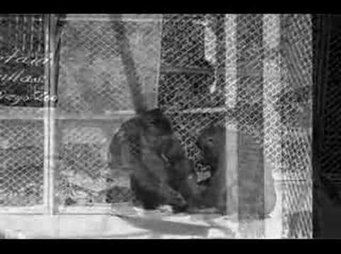 San Diego Zoo at 90: The First Gorillas