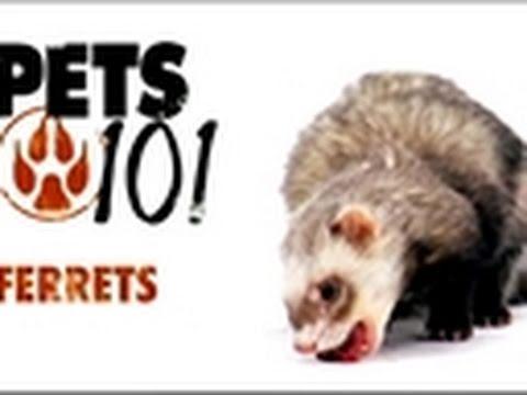 Pets 101 - Ferrets