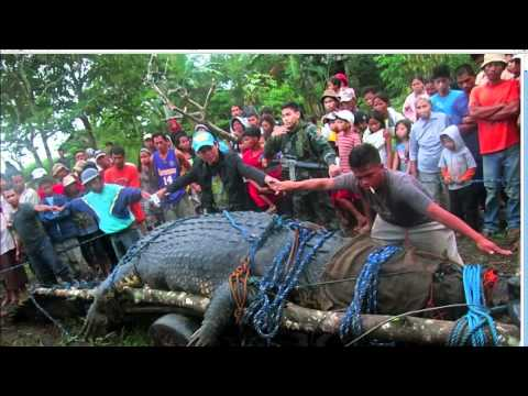 World's Largest Crocodile Captured