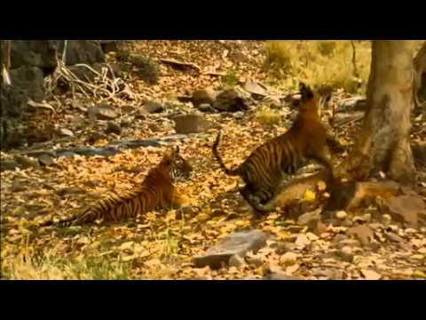 NATURE | Broken Tail: A Tiger's Last Journey | A Mischievous Tiger | PBS