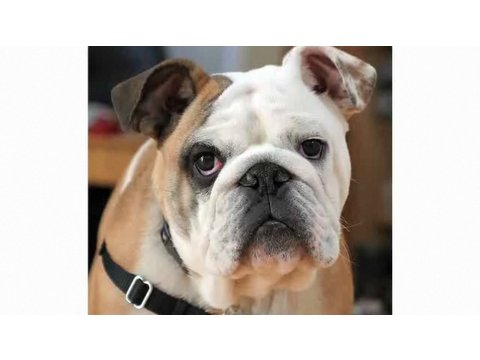 Understanding Dog Breeds: Bulldog