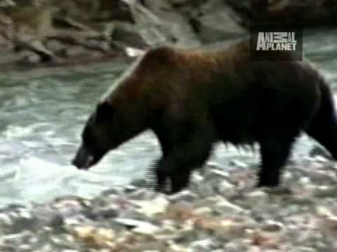 Untamed and Uncut - Grizzly Bear Battle