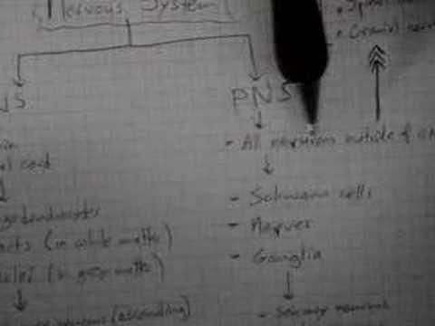 Neuroanatomy Tutorial 8 (CNS and PNS)