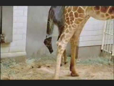 "NATURE | Tall Blondes | ""Birth of a Giraffe"" 