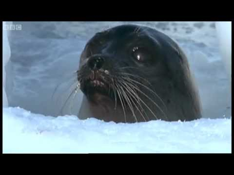Pregnant Polar Bear hunts seals - Animals: The Inside Story - BBC