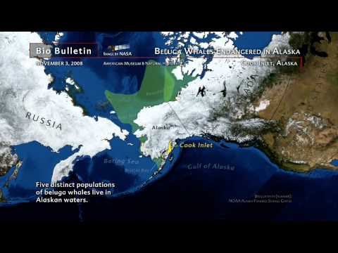 Science Bulletins:Beluga Whales Endangered in Alaska