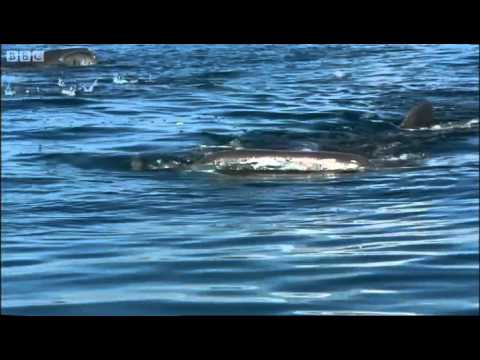 Snorkelling with whale sharks - Oceans - BBC