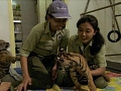 Tiger Cub Foster Parents