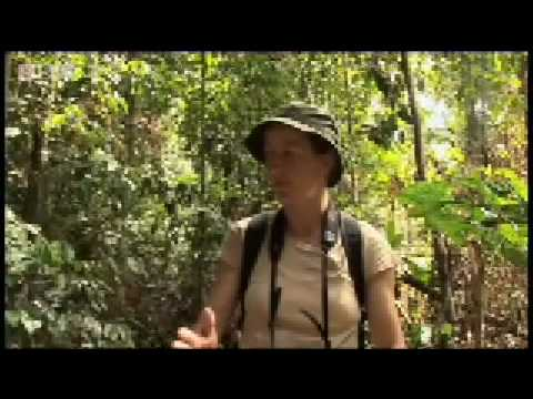 Searching for Orangutans - Expedition Borneo - BBC Wildlife