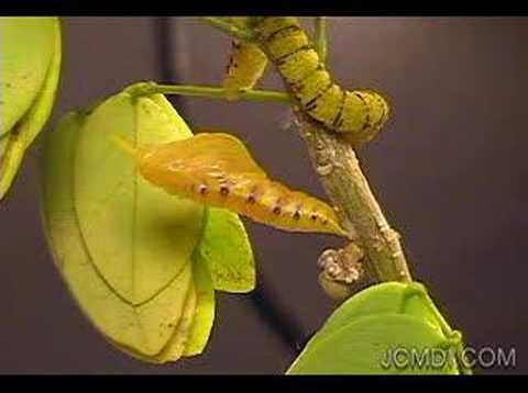 Time Lapse - Phoebis sennae Butterfly Pupates-Emerges