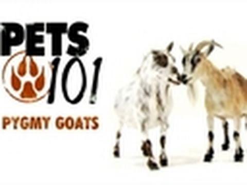 Pets 101- Pygmy Goats