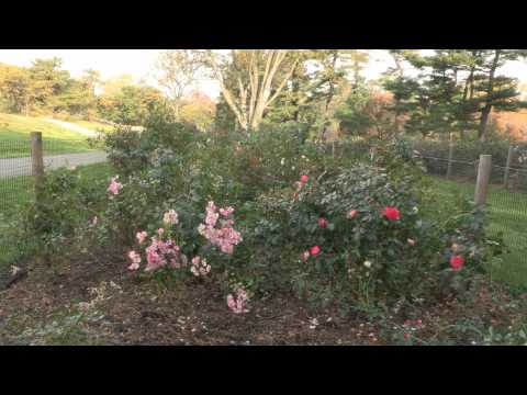 NE Eathkind Rose Trials Bed Update