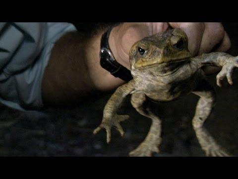 Python Hunters - Cane Toad Devastation