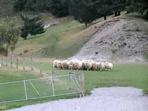 Sheep dog in New Zealand