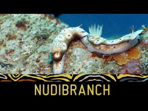Weird creatures: Naked truth about nudibranchs