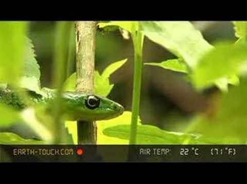 Snake hunts in coastal forest