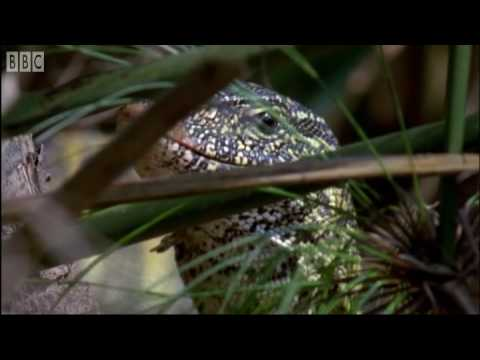The Ferocious Looking Nile Monitor - BBC Earth