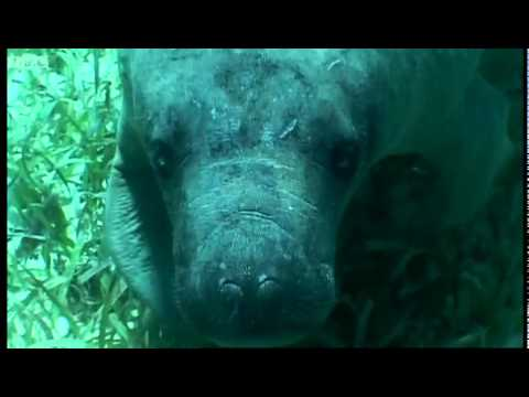 Swimming with a Manatee - Dive Caribbean - BBC
