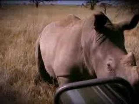 Search for mating rhinos - BBC wildlife