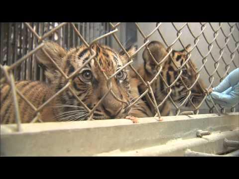 Tiger Cubs Feeding