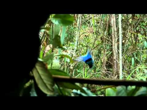 NATURE | Birds of the Gods | Blue Bird of Paradise | PBS