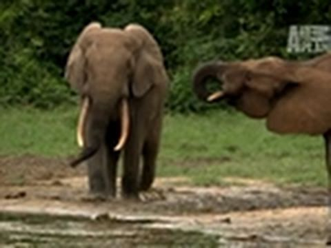 Wild Kingdom- Secret Lives of Forest Elephants