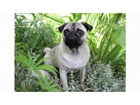 Understanding Dog Breeds: Pug