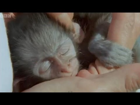 Wounded monkey and baby orphans - Cheeky Monkey - BBC