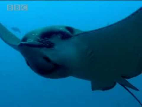 Witness the astounding beauty of the Galapagos spotted eagle ray - BBC wildlife