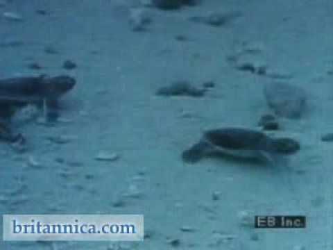 Sea Turtles and Their Hatchlings