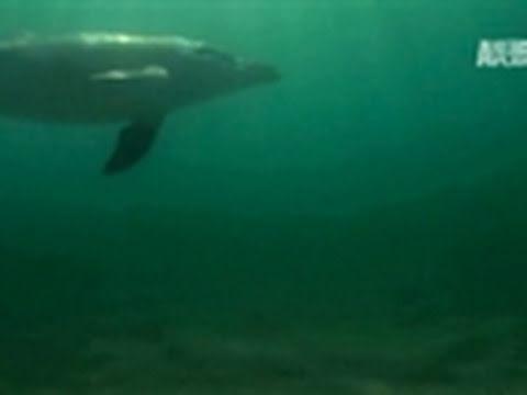 Wild Kingdom- Stranded Dolphin Calf