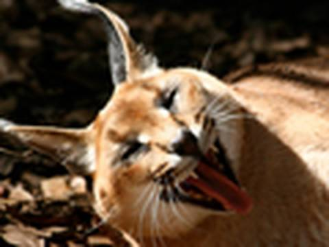 Very Funny BIG CATS!