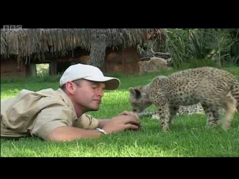 Teaching cheetah cubs to play & hunt Cheetahs - Fast Track to Freedom - BBC