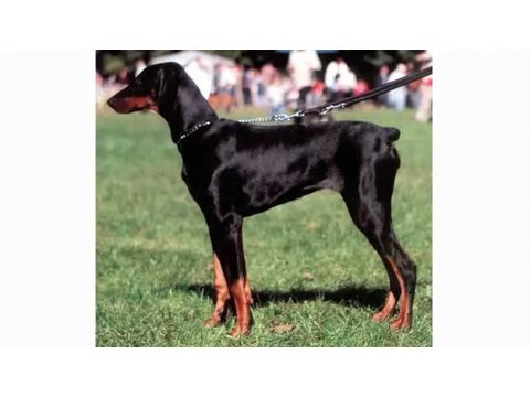 Understanding Dog Breeds: Doberman Pinscher