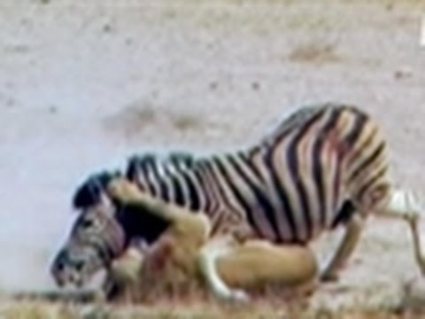 Untamed and Uncut- Zebra Escapes Lion's Jaws