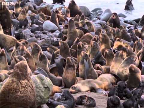 Sea Bear Ancestors?: Seals, Invaders of the Sea: BBC