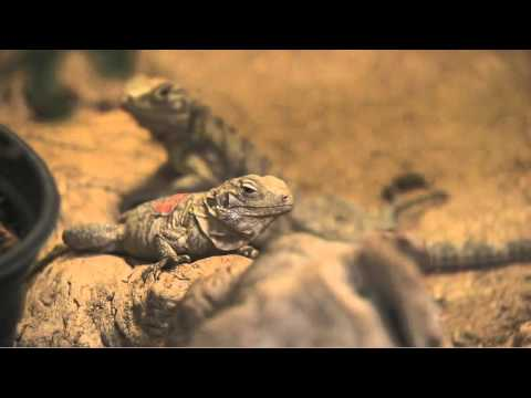 Saving the Grand Cayman Island Iguana