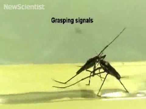 Water strider mating